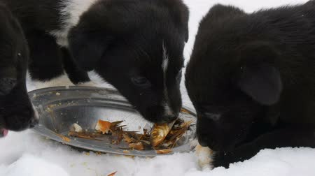 bilinçli : Hungry puppies eat fish heads with an iron round plate. Three cute funny little black and white puppies eat on snow in winter.