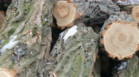 sawn : Many of felled tree trunks lying in row