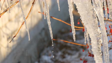 сосулька : Group of beautiful picturesque icicles sparkling and iridescent melt in the sun