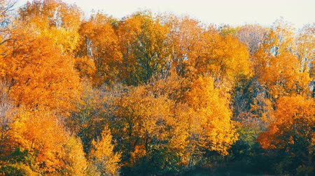 autumn forest : Picturesque landscape colorful autumn foliage on trees in forest in nature Stock Footage