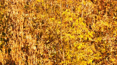 perfect weather : Yellow autumn foliage on the trees in a park Stock Footage