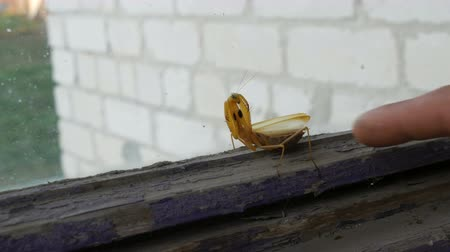 tlapky : Aggressive pregnant female yellow mantis religiosa raises paws and tail with a stomach on old window Dostupné videozáznamy