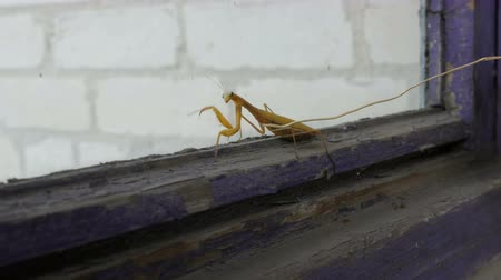mantis : Aggressive pregnant female yellow mantis religiosa raises paws and tail with a stomach on old window Stock Footage