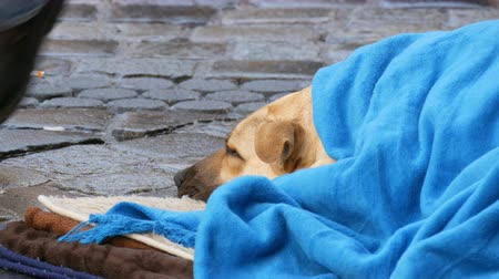 köpekler : The white dog of homeless person, covered with a blue blanket, lies on the street. A stray dog, covered with a veil, lies on a city street, crowds of people walk by. Stok Video