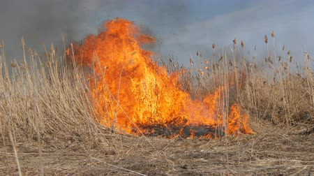 bush fire : View of terrible dangerous wild high fire in the daytime in the field. Burning dry straw grass. A large area of nature is in flames. Stock Footage