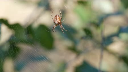 паук : Cross Spider Araneus diadematus hunting day and weave on web in the forest Стоковые видеозаписи