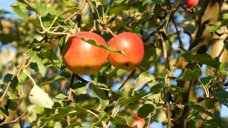 nepal : Ripe red apples grow on the tree