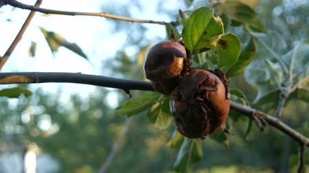 decomposition : Rotten apples lie on the tree in garden