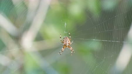 паук : Cross Spider Araneus diadematus hunting day and weave on web in the forest close up Стоковые видеозаписи
