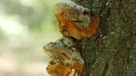 dead wood : Brown mushrooms on the trunk of tree in the forest Stock Footage