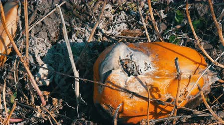 rozřezaný : Rotten pumpkin growing on a field