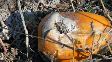 rothadás : Rotten pumpkin growing on a field