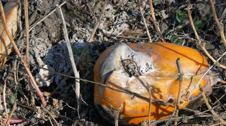 kalebas : Rotten pumpkin growing on a field
