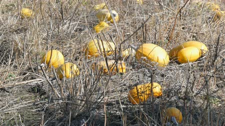 folt : Ripe pumpkins on a field in autumn Stock mozgókép