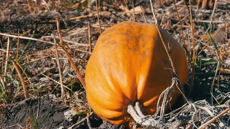 fresh produce : Ripe pumpkin on a field in autumn Stock Footage