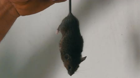 alergie : Man caught and holds the tail of a gray house mouse against the background of a white wall