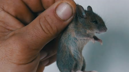 rodent control : Male hand holding small house mouse caught in the skin. Gray rodent caught