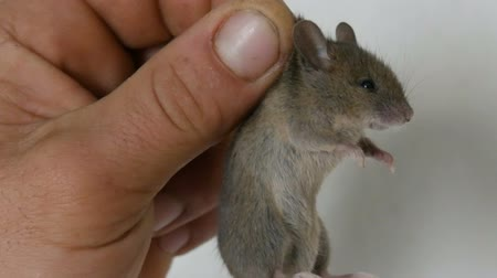 oat flakes : Male hand holding small house mouse caught in the skin. Gray rodent caught
