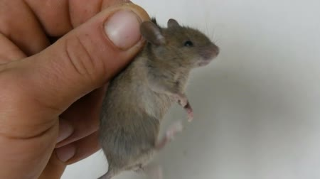 ear infection : Male hand holding small house mouse caught in the skin. Gray rodent caught
