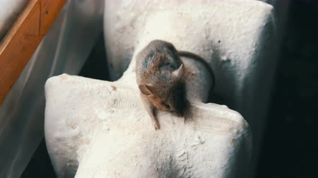 bolinho : Small gray house mouse sits on a vintage old cast iron heating battery in the house