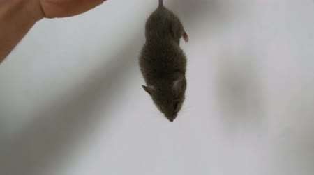 migalhas : Man caught and holds the tail of a gray house mouse against the background of a white wall