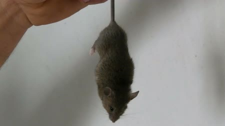 rodent control : Man caught and holds the tail of a gray house mouse against the background of a white wall