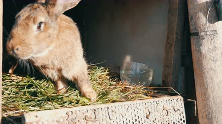 rabbit ears : Funny gray big rabbit eating green grass in a cage Stock Footage