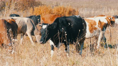 pastar : A herd of cows grazing in meadow in the deep autumn.
