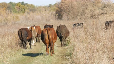 düve : A herd of cows grazing in meadow in the deep autumn.