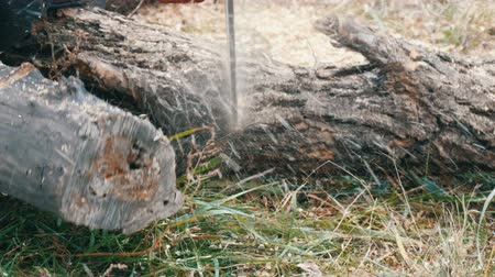 silvicultura : Close up cuts dry tree trunks with red chainsaw, sawdust fly everywhere