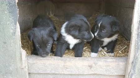 więzienie : Three cute funny little black and white puppies in doghouse playing and looking around Wideo