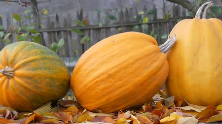 благодарение : Huge orange pumpkins stand near fallen autumn leaves. Autumn harvest of pumpkins and Halloween
