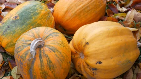 tykev : Four large pumpkins lie in autumn fallen leaves. Pumpkin crop for Halloween Dostupné videozáznamy