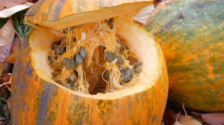 kalebas : Large orange sliced pumpkin with seeds inside. Harvest pumpkins for Halloween Stockvideo