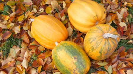 tykev : Huge orange pumpkins stand near fallen autumn leaves. Autumn harvest of pumpkins and Halloween