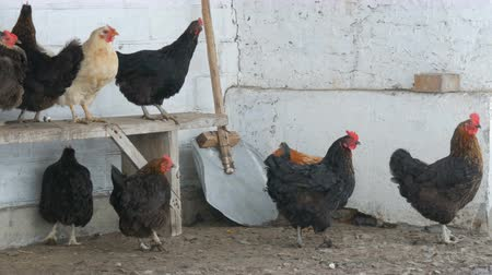 çelenk : Many different hens, roosters and chickens sitting in rural yard on the bench or on ground in winter fine snow flies by
