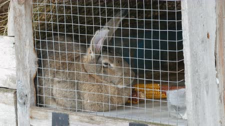 ear protection : Gray big rabbit sitting in a cage in a village in winter Stock Footage