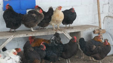 загон : Many different hens, roosters and chickens sitting in rural yard on the bench or on ground in winter fine snow flies by