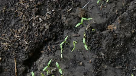 живая природа : Small shoots of plant grow in the ground