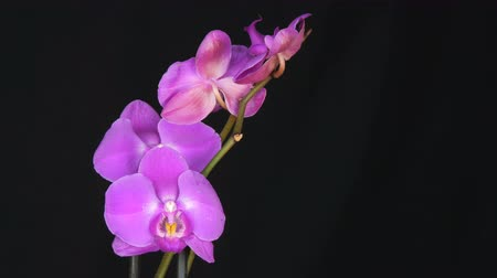 orquídea : Beautiful blooming purple orchid flower on stylish black background