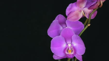 orchideeen : Beautiful blooming purple orchid flower on stylish black background
