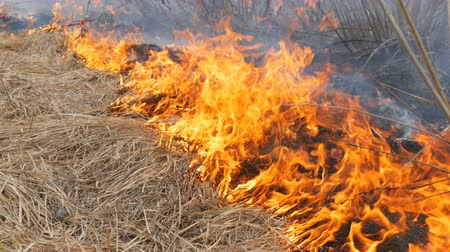 imprudence : Dangerous wild fire in nature, burns dry grass. Burnt black grass in forest glade