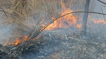 frassino : Dangerous wild fire in nature, burns dry grass. Burnt black grass in forest glade