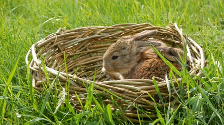 rabbit ears : Two newborn little weekly cute fluffy bunnies in a wicker basket in green grass in summer or spring
