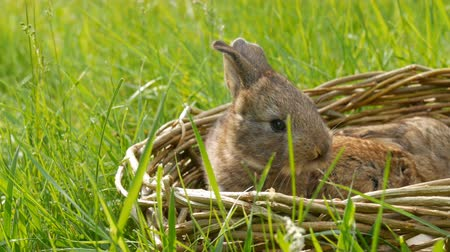 petit lapin : Two newborn little weekly cute fluffy bunnies in a wicker basket in green grass in summer or spring
