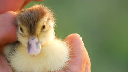 salvaguardar : Hands of a male farmer gently stroke a small newborn yellow-black duckling against the background of sunlight and green grass Stock Footage