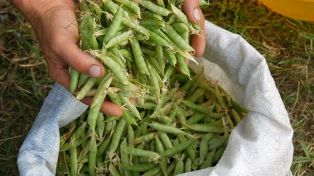 완두콩 : Hands of a male farmer hold many freshly harvested green pea pods in a white bag