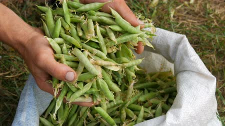 стручок : Hands of a male farmer hold many freshly harvested green pea pods in a white bag
