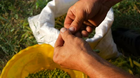 완두콩 : Hands of a male farmer hold many freshly harvested green pea pods shell peas from pod. Healthy vegetable food from organic agriculture