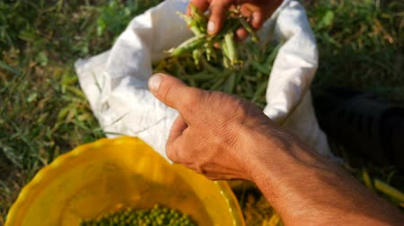 ポッド : Hands of a male farmer hold many freshly harvested green pea pods shell peas from pod. Healthy vegetable food from organic agriculture